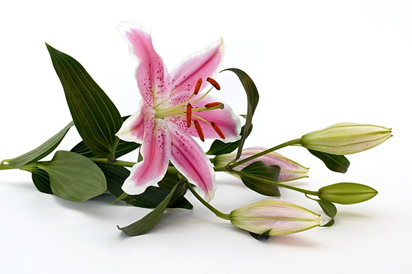 Hoa bách hợp hồng biểu tượng của sự giàu sang
