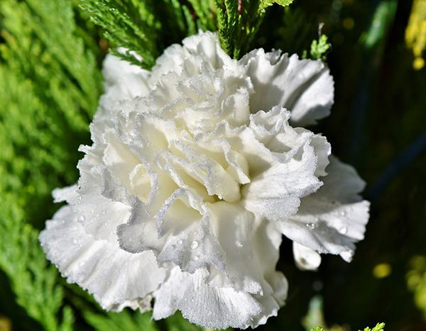 Ý nghĩa hoa cẩm chướng trắng