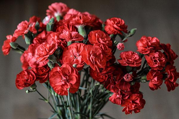 Ý nghĩa hoa cẩm chướng đỏ