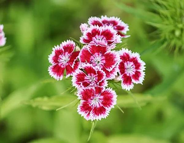 Ý nghĩa hoa cẩm chướng sọc vằn
