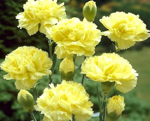 Ý nghĩa hoa cẩm chướng vàng